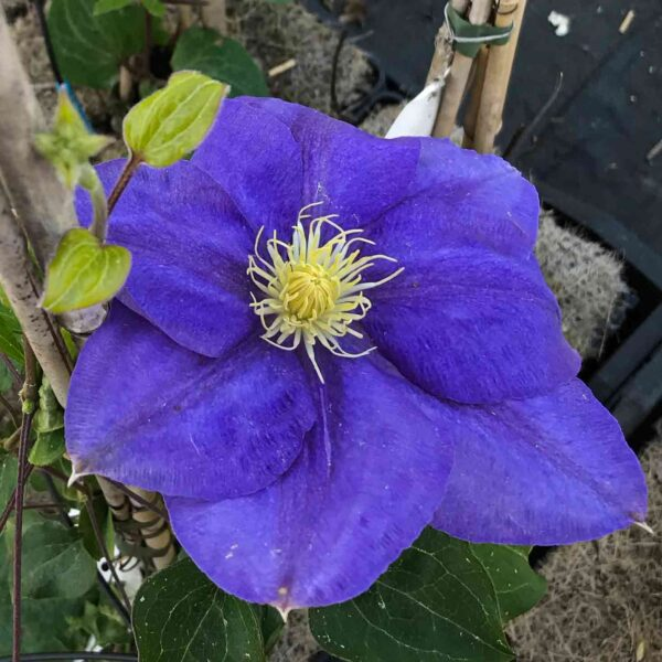 Clematis Europa