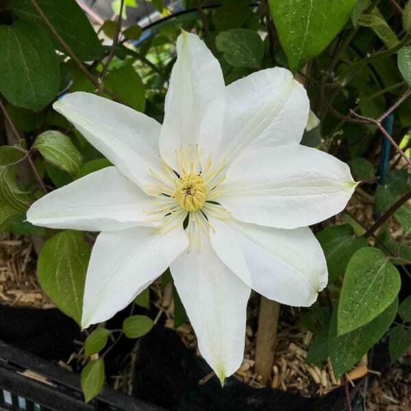 Clematis Mary-Claire