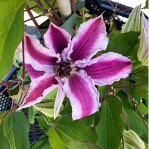 Clematis Capitaine Thuilleaux